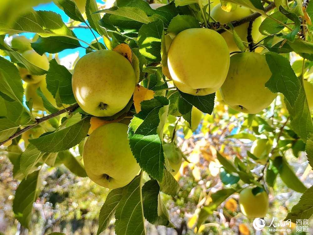 西藏山南市:秋收苹果红似火 增收致富笑满园